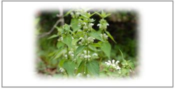 オドリコソウ花と葉と茎エキス