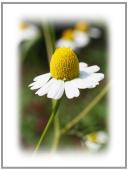 カミツレ花のエキス