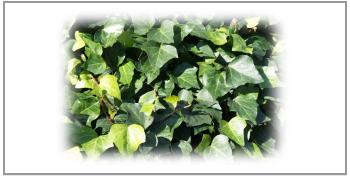セイヨウキズタ葉、茎エキス
