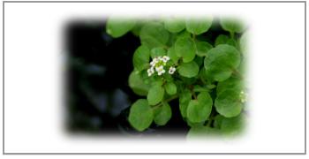 オランダガラシ葉茎エキス
