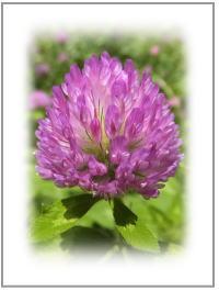 アカツメクサ花